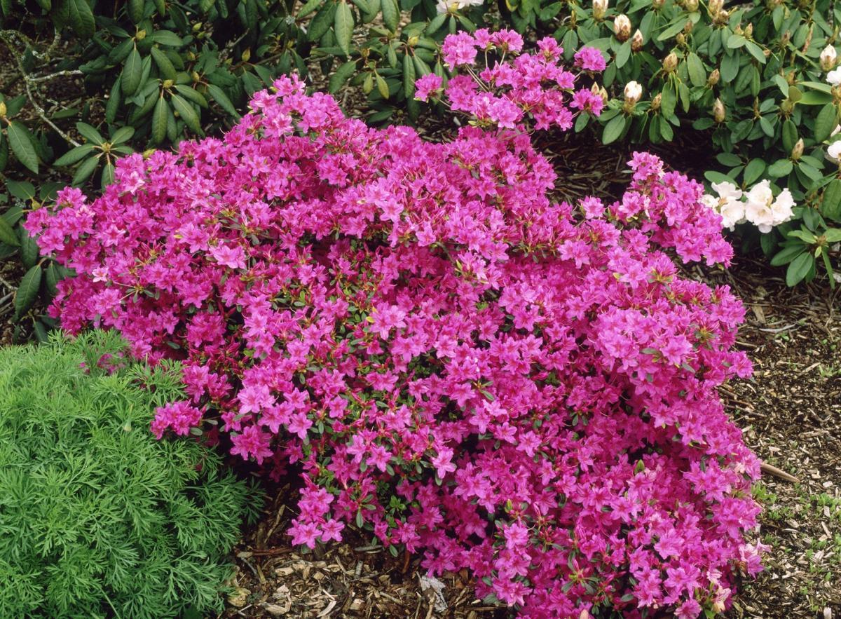 Azalea 39 karen 39 deciduous shrubs shrubs plants for The azalea