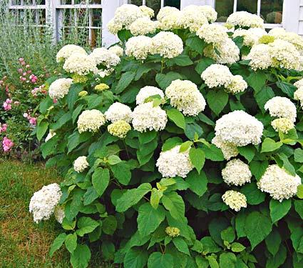 hydrangea 39 annabelle 39 deciduous shrubs shrubs plants flowers niemeyer 39 s landscape. Black Bedroom Furniture Sets. Home Design Ideas
