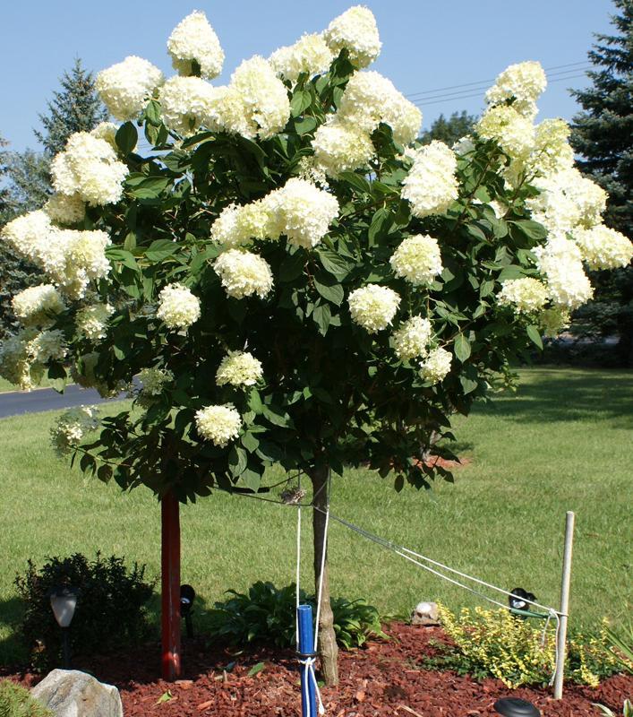 Hydrangea Tree 39 Limelight 39 Ornamental Trees Trees