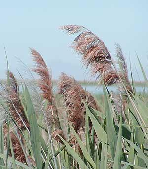 Emergent weeds reed grass aquatic weeds and solution for Pond reeds for sale