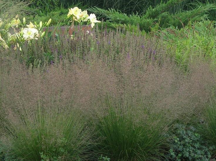 prairie dropseed 39 tara 39 grasses plants flowers niemeyer 39 s landscape supply northwest. Black Bedroom Furniture Sets. Home Design Ideas