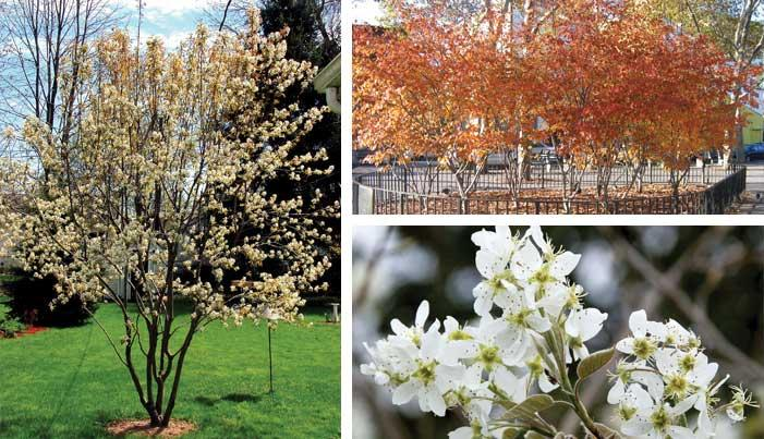 Serviceberry Autumn Brilliance Ornamental Trees