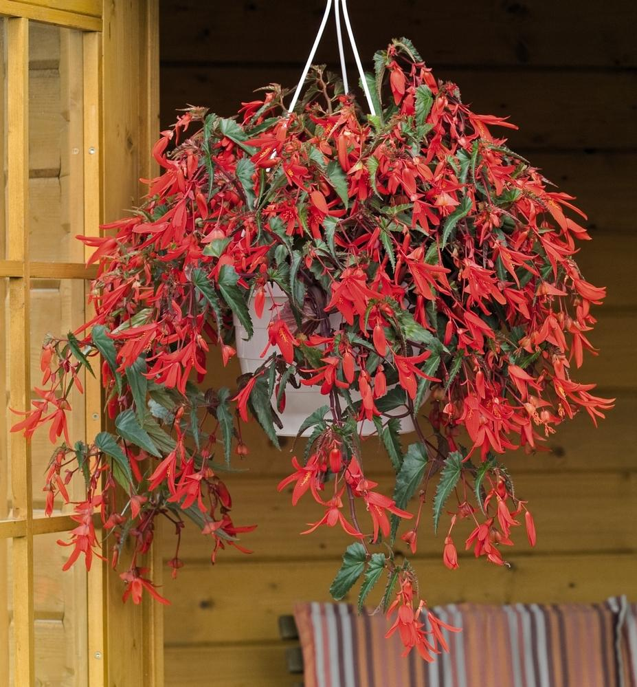 Hanging Basket Flowers Part Shade : Shade hanging baskets annuals plants