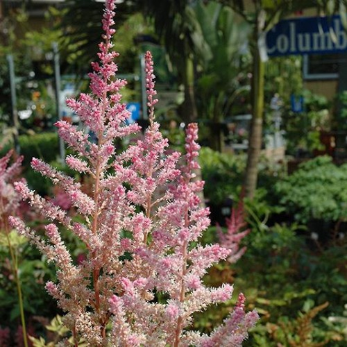 Astilbe 'Little Vision In Pink'