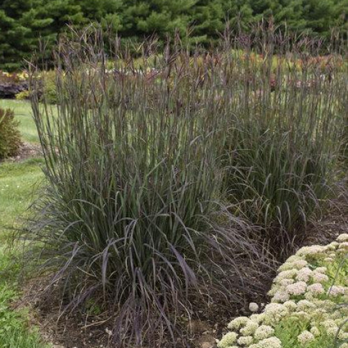Big Bluestem 'Blackhawks'