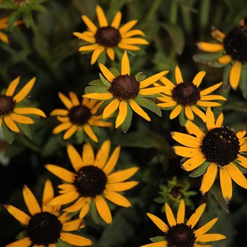 Black Eyed Susan 'Little Gold Star'