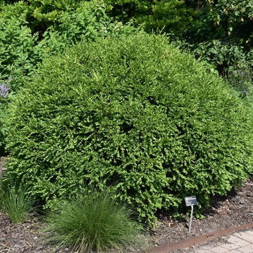 Boxwood 'Green Gem'