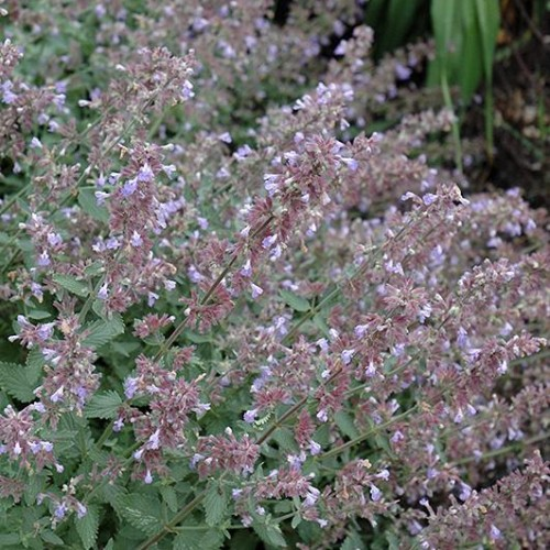 Catmint 'Cats Meow'