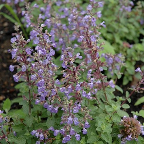 Catmint 'Purrsian Blue'