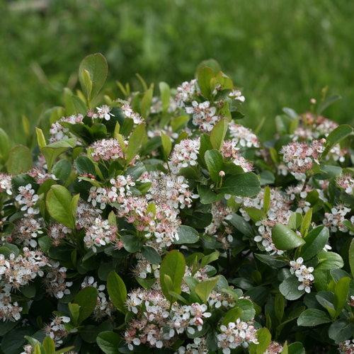 Chokeberry 'Low Scape Mound'