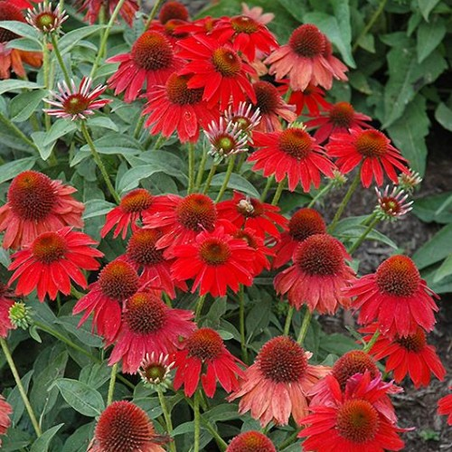 Coneflower 'Sombrero Salsa Red'