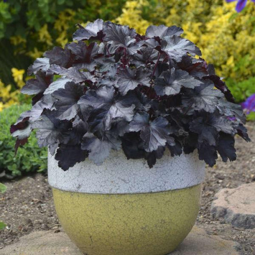 Coral Bell 'Black Pearl'