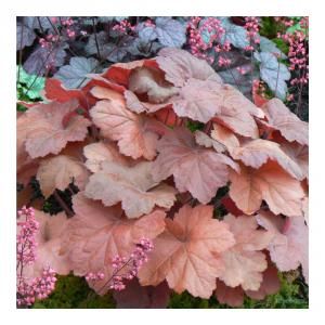 Coral Bells 'Southern Comfort'