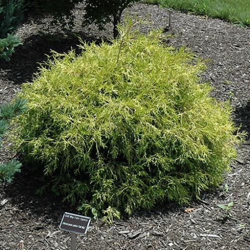 False Cypress 'Golden Mop'