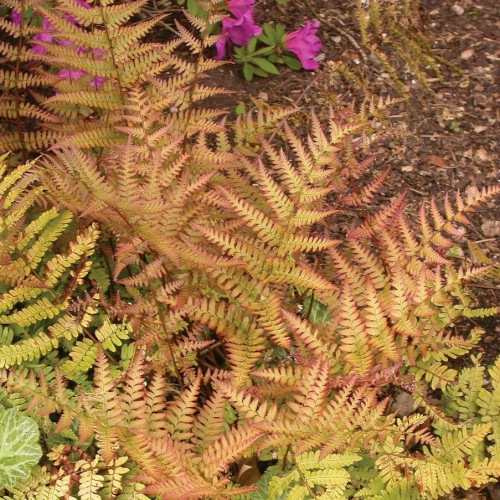 Fern 'Autumn Brilliance'