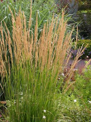 Feather Reed Grass 'Karl Foerster'