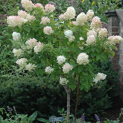 Hydrangea Tree Limelight Ornamental Trees Trees Plants F