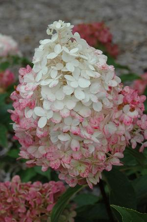 Hydrangea 'Vanilla Strawberry'