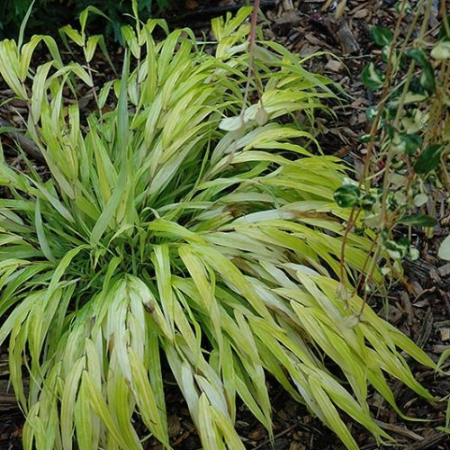 Japanese Forest Grass 'All Gold'