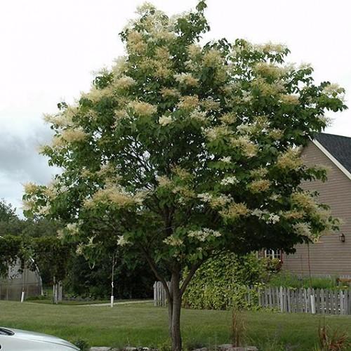 Lilac Japanese Tree Shade Trees Trees Plants Flowers Ni
