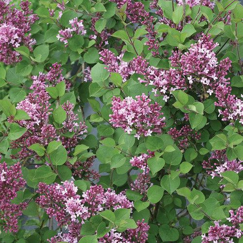 Lilac Tree 'Bloomerang'