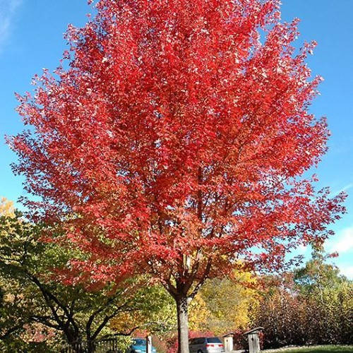 Maple, Freeman 'Autumn Blaze'