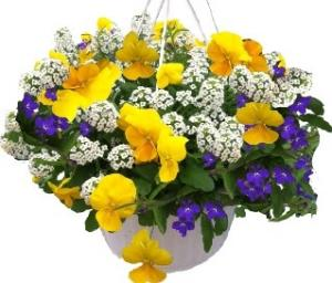 Pansy Combo Hanging Basket