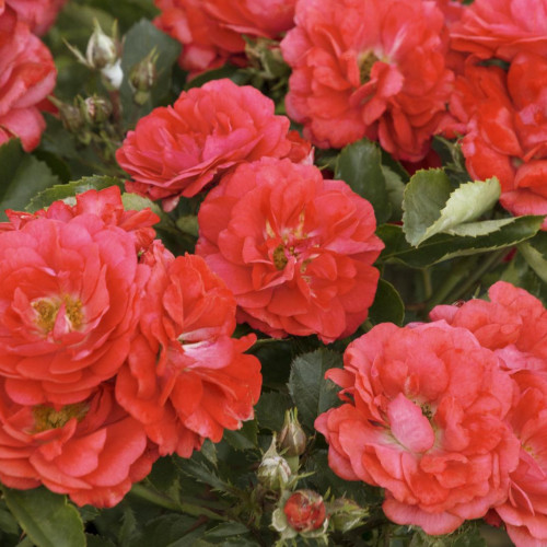 Rose 'Coral Drift'