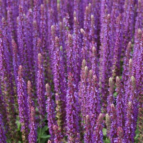Salvia 'East Friesland'