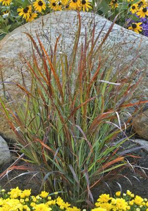Switchgrass 'Cheyenne Sky'
