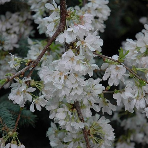 Cherry Weeping 'White Fountain'