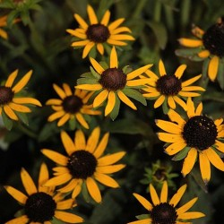 Black Eyed Susan \'Little Gold Star\'