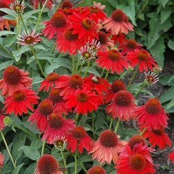 Coneflower \'Sombrero Salsa Red\'