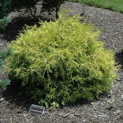 False Cypress \'Golden Mop\'