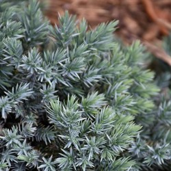 Juniper \'Blue Star\'