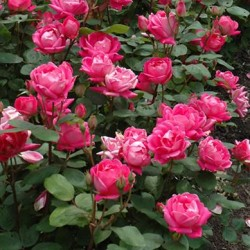 Rose \'Double Knockout\'