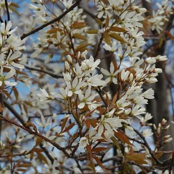 Serviceberry \'Autumn Brilliance\'