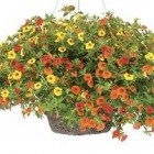 Sun Hanging Baskets