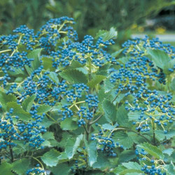 Viburnum \'Blue Muffin\'