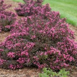 Weigela \'Spilled Wine\'